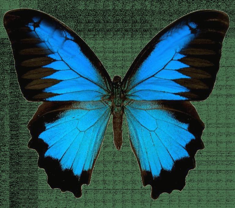 Fresh Forward Vlinder